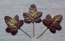 BROWNISH YELLOWISH ACER LEAVES (40mm) Mulberry Paper leaves